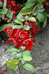 Crimson and Gold Flowering Quince (Chaenomeles x superba 'Crimson and Gold') at New Garden Landscaping & Nursery