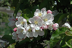 Jonagold Apple (Malus 'Jonagold') at New Garden Landscaping & Nursery