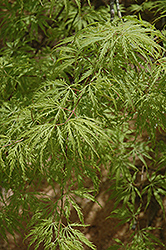 Filigree Green Lace Japanese Maple (Acer palmatum 'Filigree Green Lace') at New Garden Landscaping & Nursery