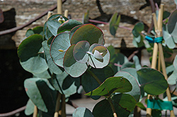 Silver Dollar Gum (Eucalyptus cinerea) at New Garden Landscaping & Nursery