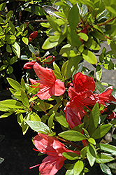 Flame Creeper Azalea (Rhododendron 'Flame Creeper') at New Garden Landscaping & Nursery