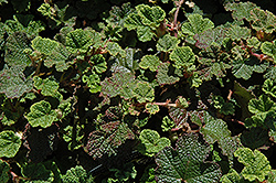 Emerald Carpet Raspberry (Rubus calycinoides 'Emerald Carpet') at New Garden Landscaping & Nursery