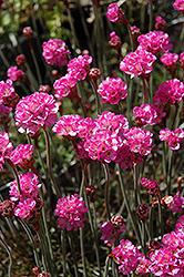 Red-leaved Sea Thrift (Armeria maritima 'Rubrifolia') at New Garden Landscaping & Nursery