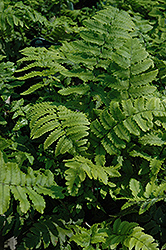 Shaggy Shield Fern (Dryopteris cycadina) at New Garden Landscaping & Nursery