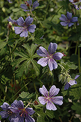 Brookside Cranesbill (Geranium 'Brookside') at New Garden Landscaping & Nursery