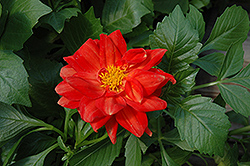 Figaro™ Red Dahlia (Dahlia 'Figaro Red') at New Garden Landscaping & Nursery