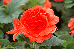 Nonstop® Salmon Begonia (Begonia 'Nonstop Salmon') at New Garden Landscaping & Nursery