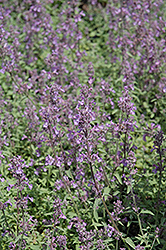 Little Trudy Catmint (Nepeta 'Psfike') at New Garden Landscaping & Nursery