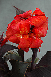 Tropical Bronze Scarlet Canna (Canna 'Tropical Bronze Scarlet') at New Garden Landscaping & Nursery