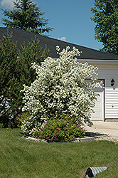 Blizzard Mockorange (Philadelphus 'Blizzard') at New Garden Landscaping & Nursery