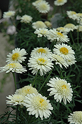 Madeira Crested Ivory Marguerite Daisy (Argyranthemum frutescens 'Madeira Crested Ivory') at New Garden Landscaping & Nursery