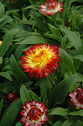 Dreamtime Jumbo Red Ember Strawflower (Bracteantha bracteata 'Dreamtime Jumbo Red Ember') at New Garden Landscaping & Nursery