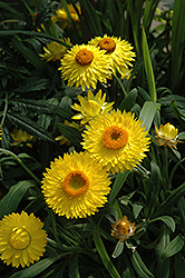 Dreamtime Jumbo Yellow Strawflower (Bracteantha bracteata 'Dreamtime Jumbo Yellow') at New Garden Landscaping & Nursery
