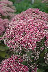 Mr. Goodbud Stonecrop (Sedum 'Mr. Goodbud') at New Garden Landscaping & Nursery
