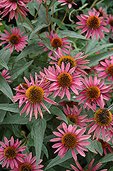 Pica Bella Coneflower (Echinacea purpurea 'Pica Bella') at New Garden Landscaping & Nursery