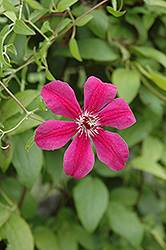 Allanah Clematis (Clematis 'Allanah') at New Garden Landscaping & Nursery