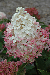 Vanilla Strawberry™ Hydrangea (Hydrangea paniculata 'Renhy') at New Garden Landscaping & Nursery