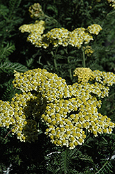 Sunny Seduction Yarrow (Achillea millefolium 'Sunny Seduction') at New Garden Landscaping & Nursery