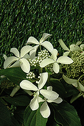 Great Star™ Hydrangea (Hydrangea paniculata 'Le Vasterival') at New Garden Landscaping & Nursery