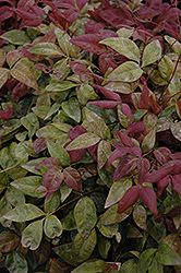 Blush Pink™ Nandina (Nandina domestica 'AKA') at New Garden Landscaping & Nursery
