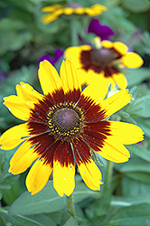 Sonora Coneflower (Rudbeckia hirta 'Sonora') at New Garden Landscaping & Nursery