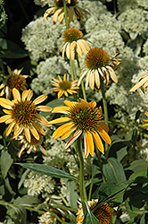 Big Sky Harvest Moon Coneflower (Echinacea 'Big Sky Harvest Moon') at New Garden Landscaping & Nursery