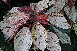 Jacob's Coat (Acalypha wilkesiana) at New Garden Landscaping & Nursery