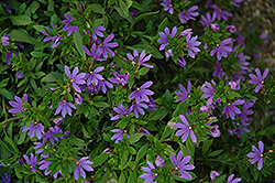 Bombay Dark Blue Fan Flower (Scaevola aemula 'Bombay Dark Blue') at New Garden Landscaping & Nursery
