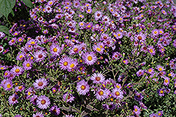 Woods Purple Aster (Aster 'Woods Purple') at New Garden Landscaping & Nursery