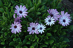 Asti Purple Bicolor African Daisy (Osteospermum 'Asti Purple Bicolor') at New Garden Landscaping & Nursery