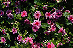 Cora® Strawberry Vinca (Catharanthus roseus 'Cora Strawberry') at New Garden Landscaping & Nursery