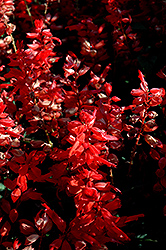 Flare Scarlet Sage (Salvia 'Flare') at New Garden Landscaping & Nursery