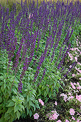 Mystic Spires Blue Sage (Salvia 'Balsalmisp') at New Garden Landscaping & Nursery