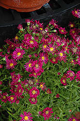 Winston Churchill Aster (Aster novi-belgii 'Winston Churchill') at New Garden Landscaping & Nursery
