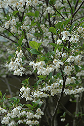 Japanese Snowbell (Styrax japonicus) at New Garden Landscaping & Nursery