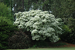 Chinese Fringetree (Chionanthus retusus) at New Garden Landscaping & Nursery