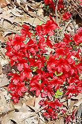Encore® Autumn Monarch™ Azalea (Rhododendron 'Conleo') at New Garden Landscaping & Nursery