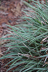 Snowline Miniature Variegated Sedge (Carex conica 'Snowline') at New Garden Landscaping & Nursery