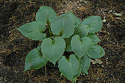 Lakeside Black Satin Hosta (Hosta 'Lakeside Black Satin') at New Garden Landscaping & Nursery