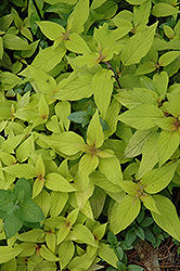 Golden Delicious Pineapple Sage (Salvia elegans 'Golden Delicious') at New Garden Landscaping & Nursery