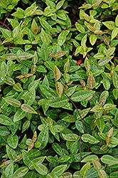 Asian Jasmine (Trachelospermum asiaticum) at New Garden Landscaping & Nursery