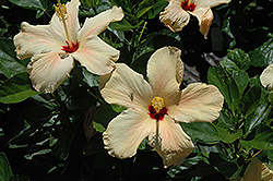 Single Peach Hibiscus (Hibiscus rosa-sinensis 'Single Peach') at New Garden Landscaping & Nursery