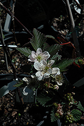 Navajo Thornless Blackberry (Rubus 'Navajo') at New Garden Landscaping & Nursery