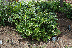 Japanese Holly Fern (Cyrtomium falcatum) at New Garden Landscaping & Nursery
