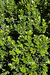 Baby Gem™ Boxwood (Buxus microphylla 'Gregem') at New Garden Landscaping & Nursery