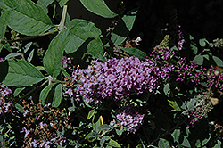 Lo And Behold® Lilac Chip Dwarf Butterfly Bush (Buddleia 'Lo And Behold Lilac Chip') at New Garden Landscaping & Nursery