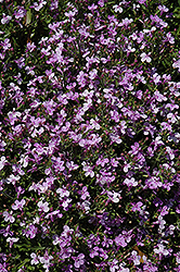 Techno® Heat Light Purple Lobelia (Lobelia erinus 'Techno Heat Light Purple') at New Garden Landscaping & Nursery