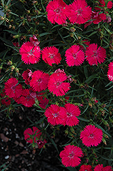 Ideal Select Rose Pinks (Dianthus 'Ideal Select Rose') at New Garden Landscaping & Nursery