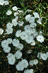 Ideal Select White Pinks (Dianthus 'Ideal Select White') at New Garden Landscaping & Nursery