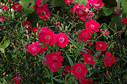 Ideal Select Red Pinks (Dianthus 'Ideal Select Red') at New Garden Landscaping & Nursery